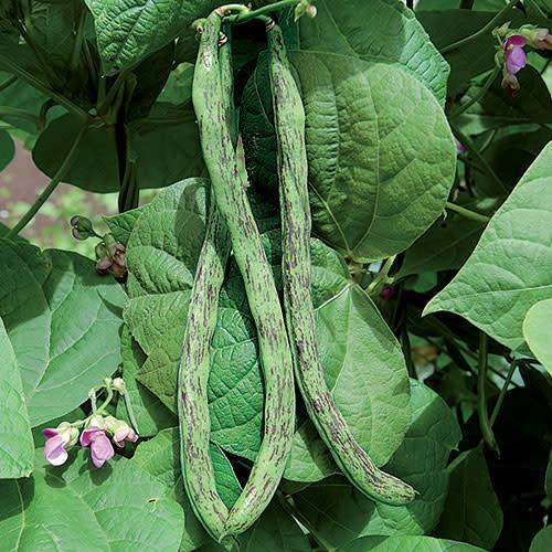 Seed Savers Exchange Bean Seeds - Rattlesnake Snap