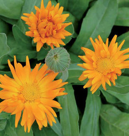 Seed Savers Exchange Flower Seeds - Radio Calendula