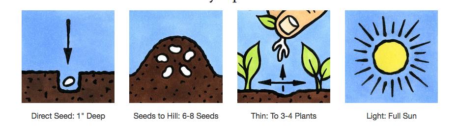 Seed Savers Exchange Squash Seeds - Winter Luxury