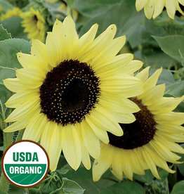 Seed Savers Exchange Sunflower Seeds - Valentine
