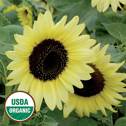 Seed Savers Exchange Sunflower Seeds - Valentine
