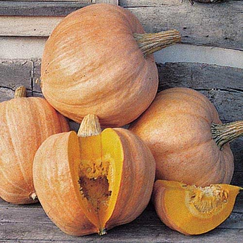 Seed Savers Exchange Squash Seeds - Amish Pie