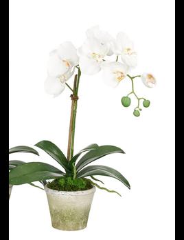 NDI Orchid in Terracota Pot