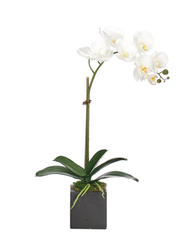 NDI Orchid in Black Square Pot