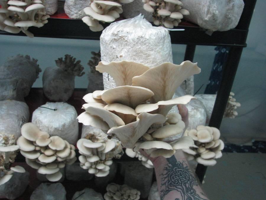 Leblanchignon Kit de culture Leblanchignon – Pleurote blanc