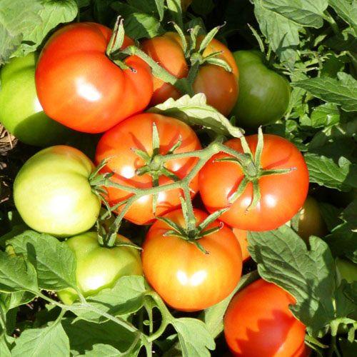 Jardin de l'Écoumène Tomate Mountain Princess