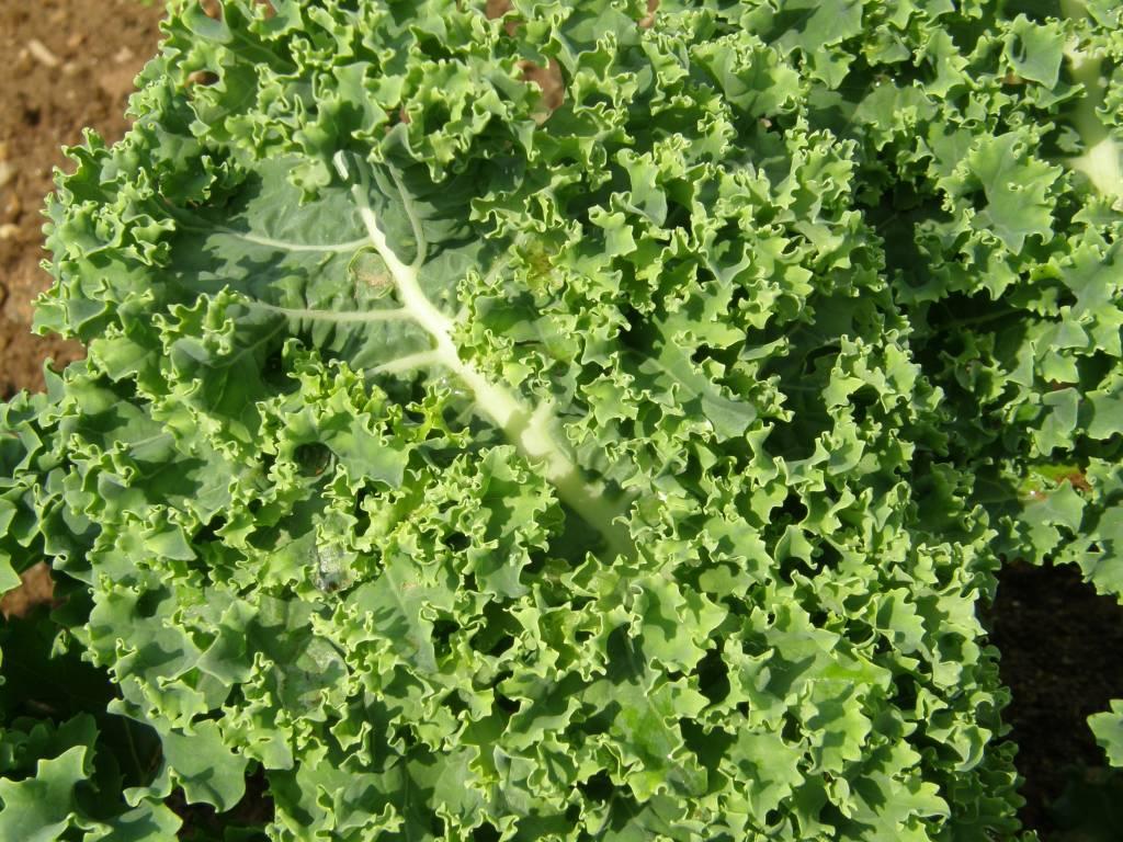 Jardin de l'Écoumène Chou frisé Kale Dwarf Blue Scotch