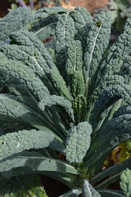 Jardin de l'Écoumène Chou frisé Kale Lacinato
