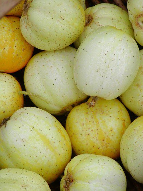 Jardin de l'Écoumène Concombre Lemon