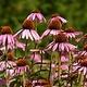 Jardin de l'Écoumène Échinacée purpurea
