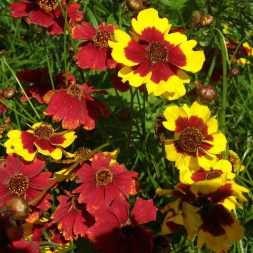 Jardin de l'Écoumène Coréopsis Bouquet Magic