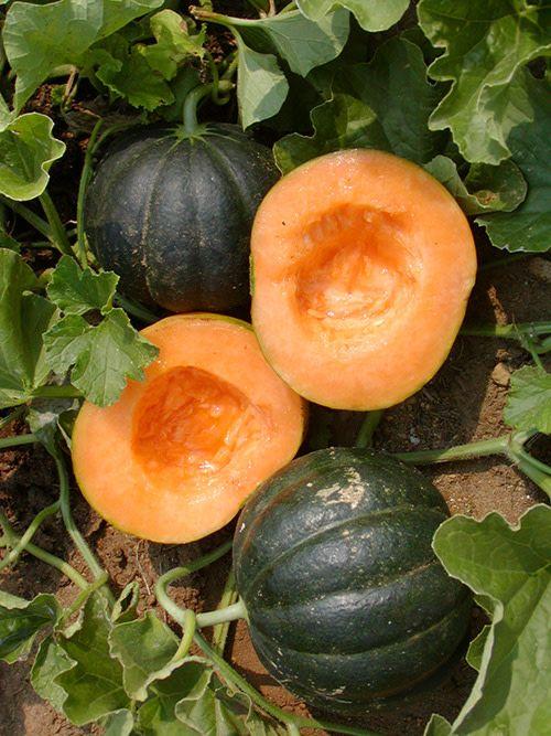 Jardin de l'Écoumène Melon Noir des Carmes
