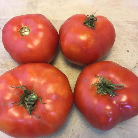 Semence Tourne-sol Tomate rouge Moskvich