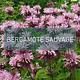 Bergamote sauvage - Fondation David Suzuki