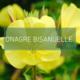 Onagre bisannuelle - Fondation David Suzuki