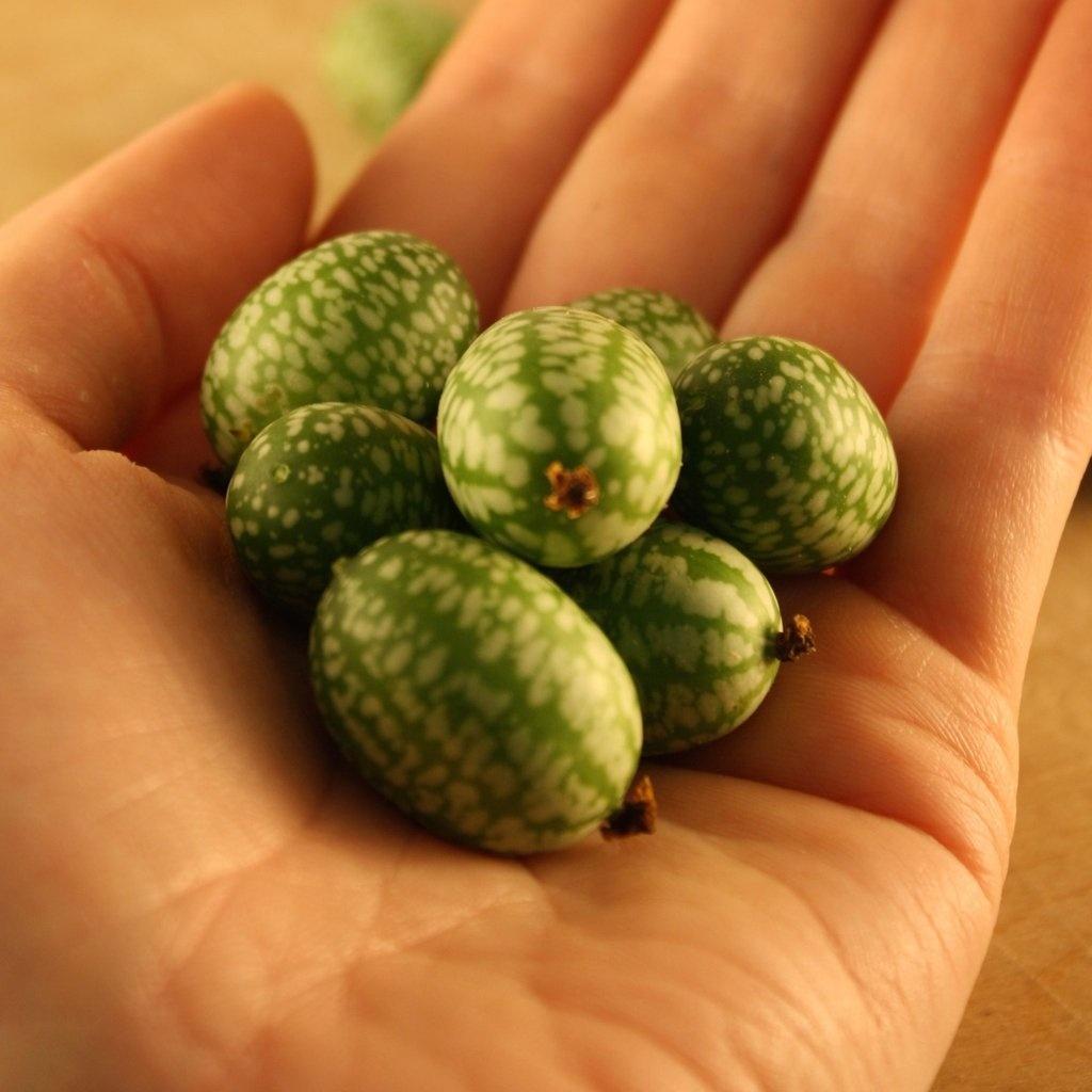 Semence Tourne-sol Melon souris