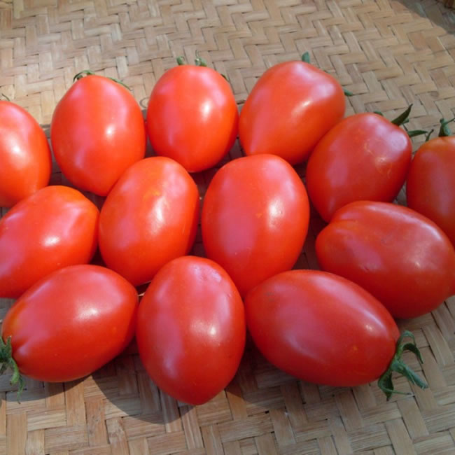 Semence Tourne-sol Tomate rouge a sauce Napoli a Flaschetto