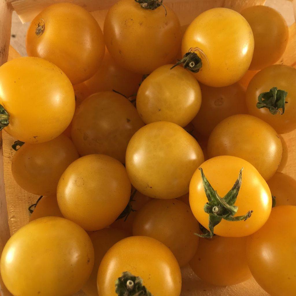 Semence Tourne-sol Tomate cerise jaune Galina