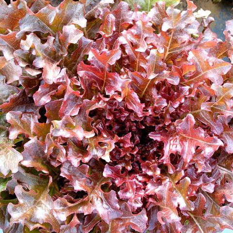 Semence Tourne-sol Laitue feuille de chêne Red salad bowl