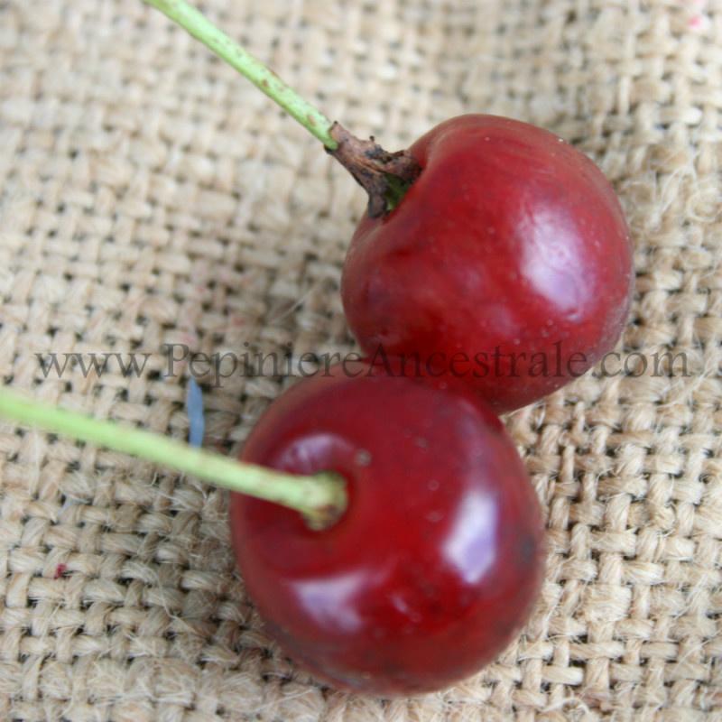 Cerisier Montmorency 1,5 an