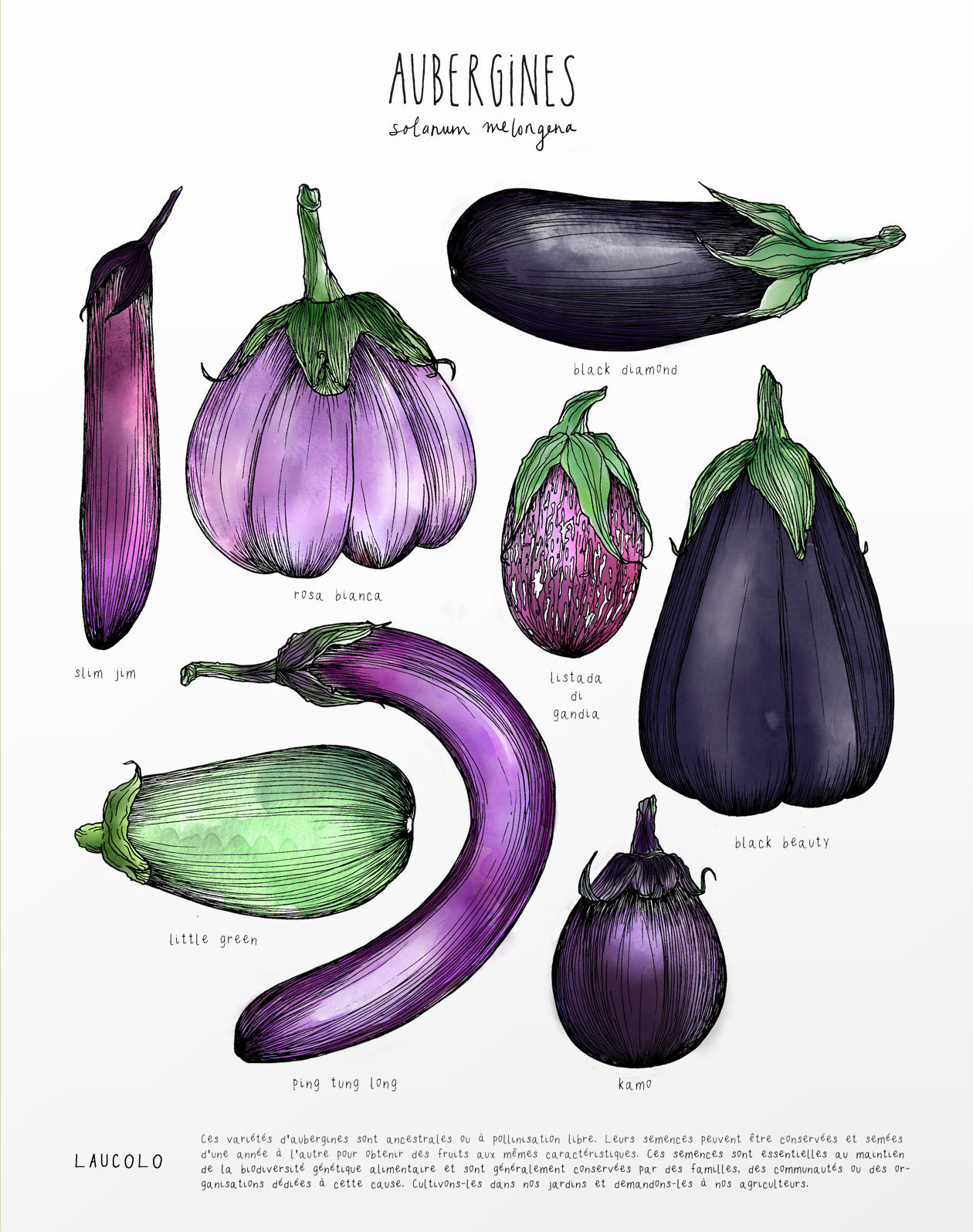 Illustration Laucolo - Aubergines