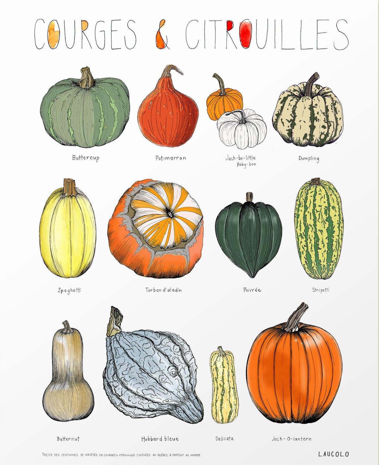 Illustration Laucolo - Courges et citrouilles