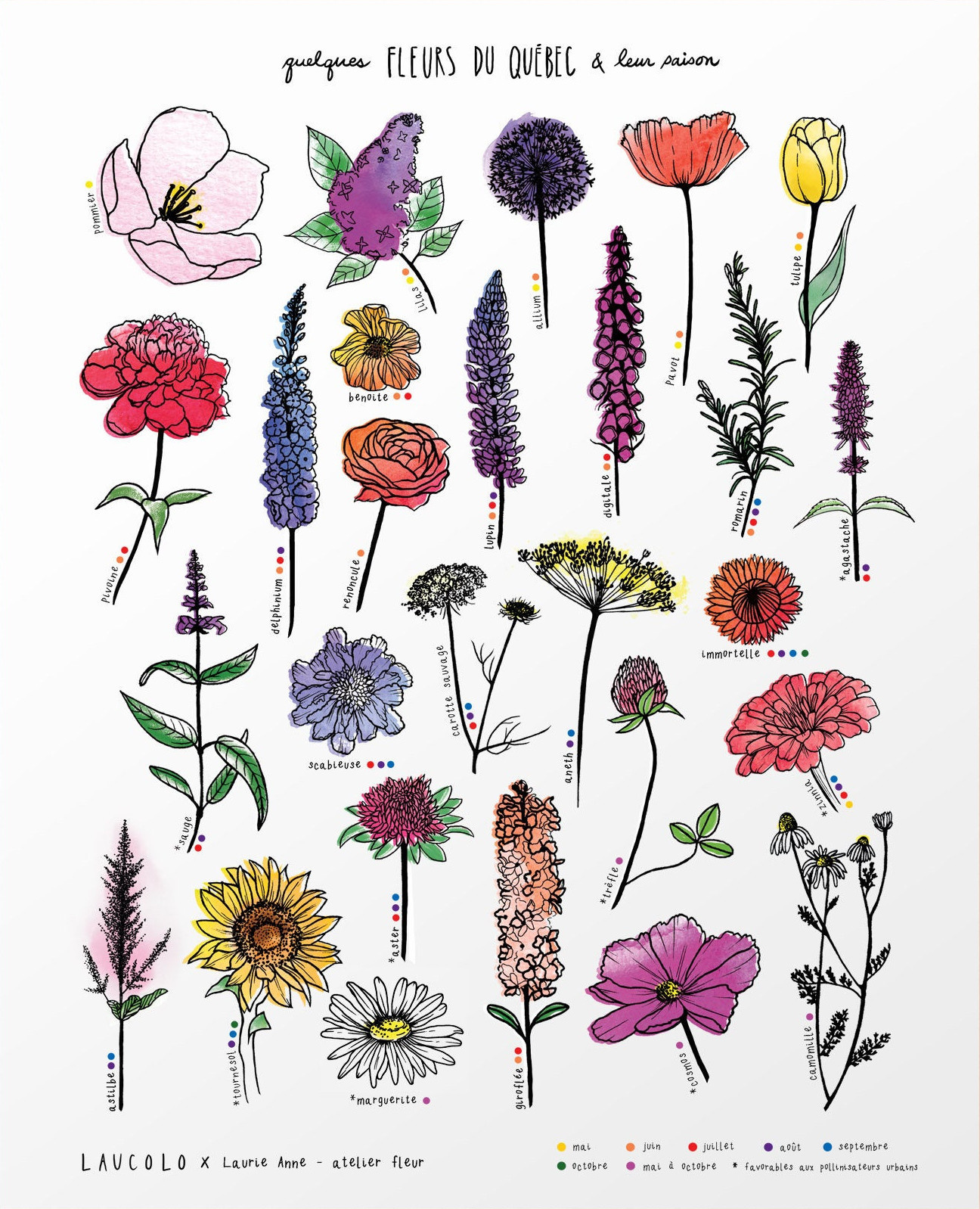 Illustration Laucolo - Fleurs du Québec