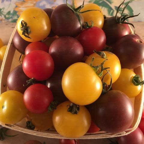 Semence Tourne-sol Tomate cerise mélange