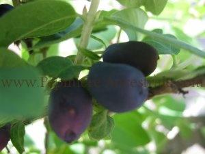 Camerisier Borealis 1 an
