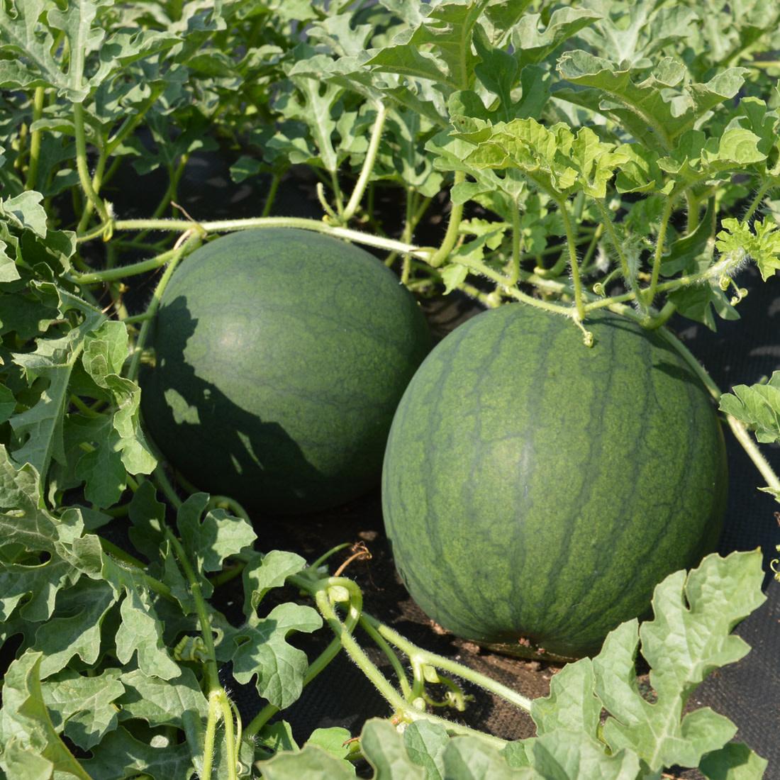 Jardin de l'Écoumène Melon D'eau Blacktail Mountain