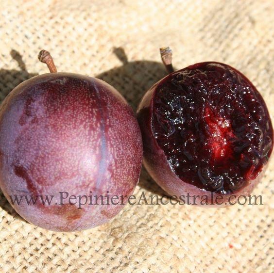 Copy of Chum (prune-cerise) Dura 1 an