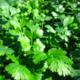 W.H.Perron Coriandre Cultivée