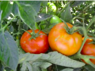 W.H.Perron Tomate Beefsteak