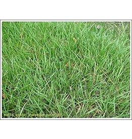 Pensacola Bahia Seed