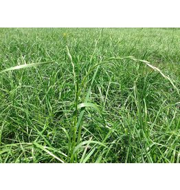 Rye Grass Seed