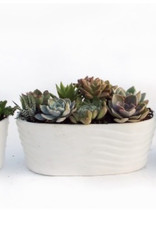 "Griffin Plants White Oval 9"" Succulents"