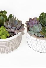 """Griffin Plants Ancient Art 6.5"""" Succulents"""