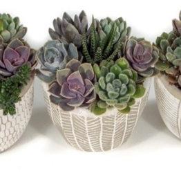 """Griffin Plants Ancient Art 5"""" Succulents"""