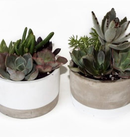 "Griffin Plants Jikka Cylinder 5"" Succulents"
