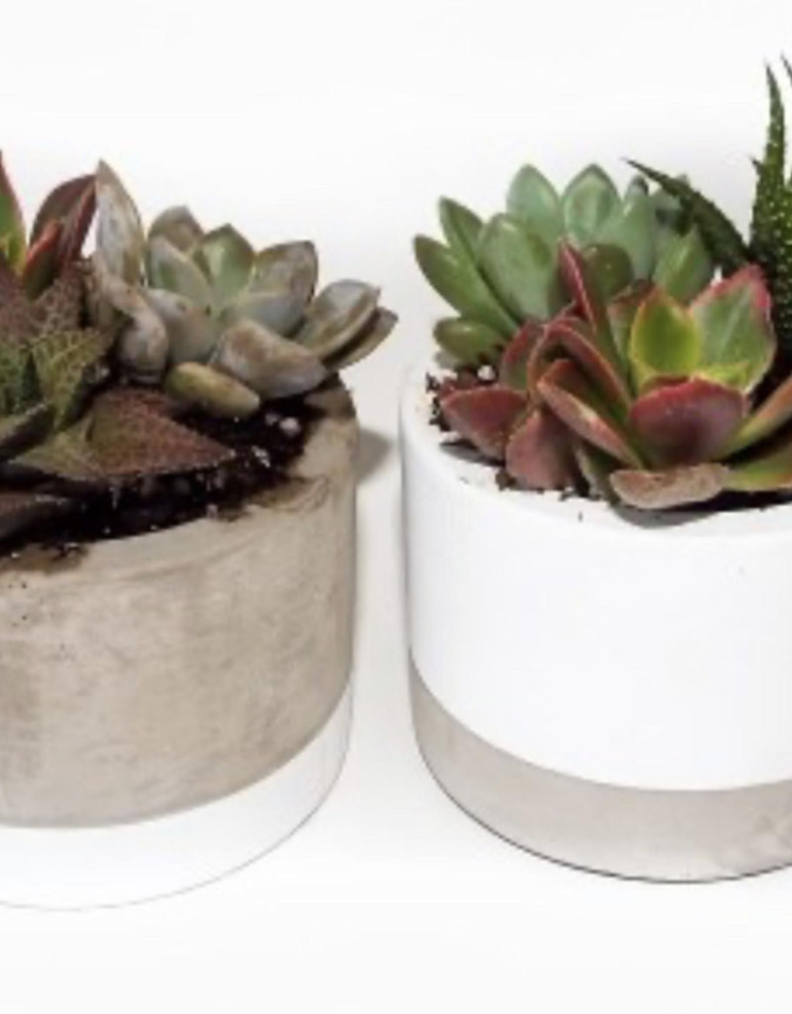 "Griffin Plants 2.5"" Assorted Cement Combo Succulents"