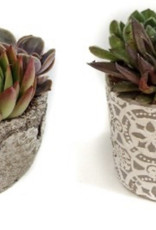Griffin Plants Small Succulents