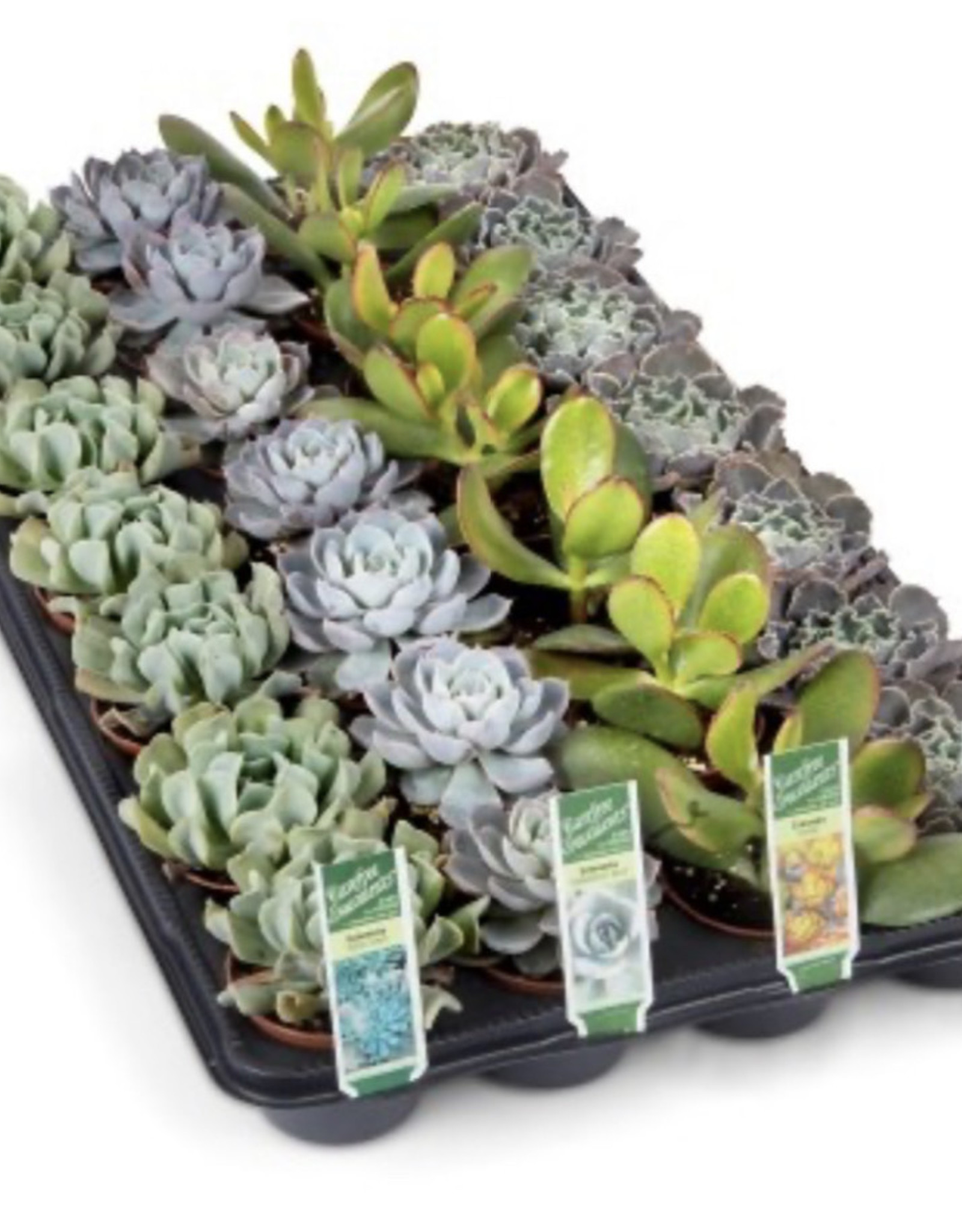 "Griffin Plants 2"" Succulents"