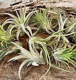Griffin Plants Tillandsia Air Plant Succulents
