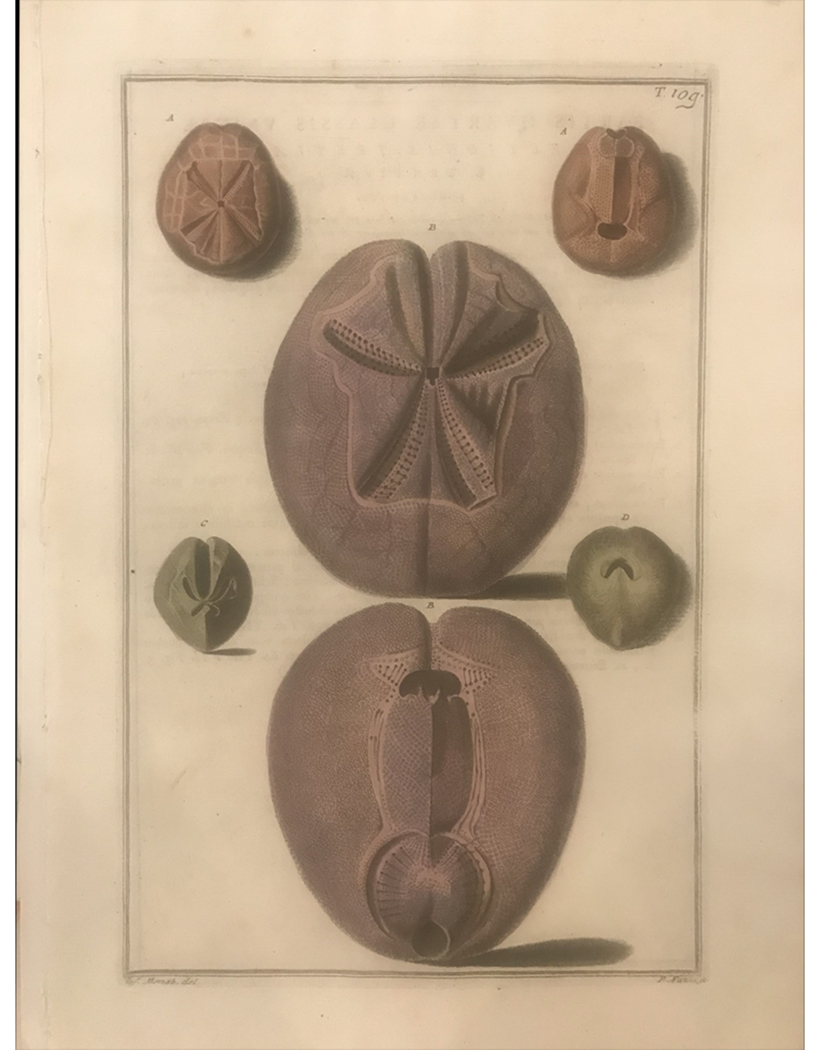 SPV Original Educational Lithograph of Shells in Purple 1800s