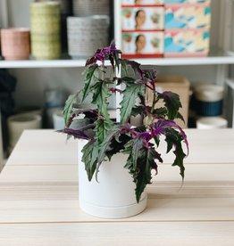 "Lady Pruner 4"" Purple Passion Plant"