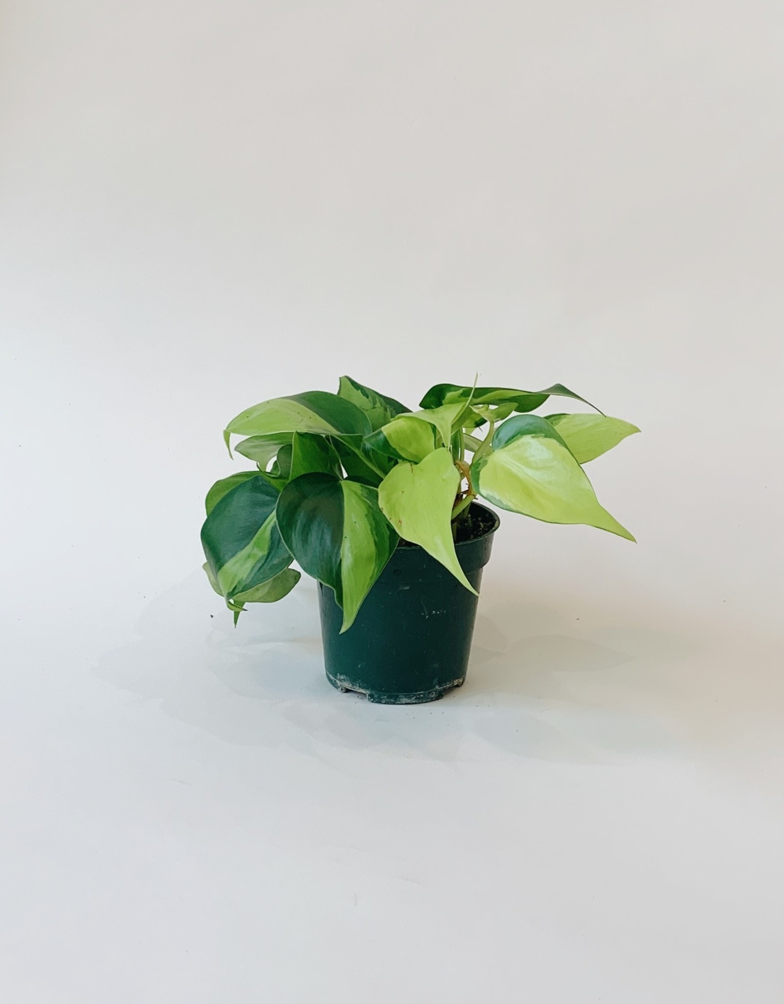 "Lady Pruner 4"" Philodendron Brazil"