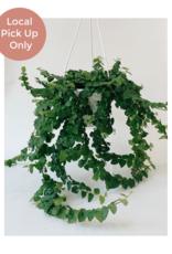 "Lady Pruner 6"" Creeping Ficus (Hanging)"