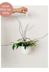 """Lady Pruner 6"""" Hoya Pubicalyx (Hanging)"""