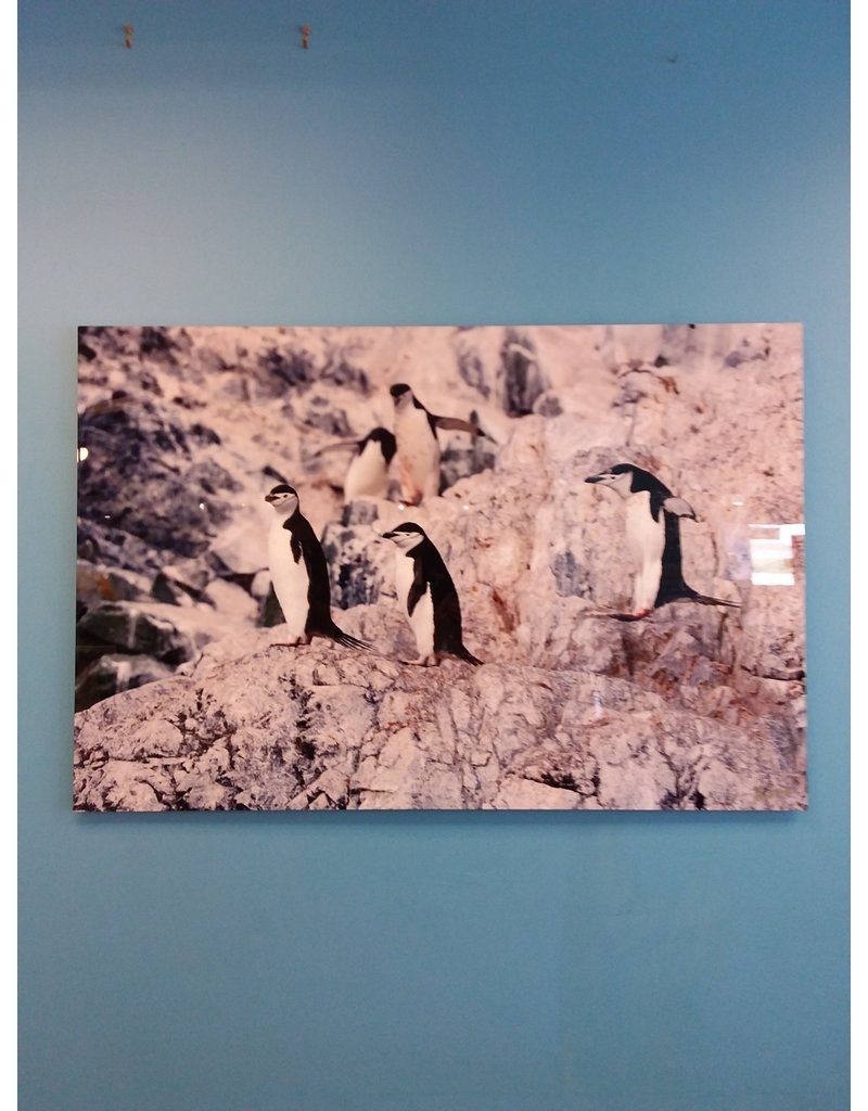 Vaughan Signed John Marion Photograph - 5 Penguins
