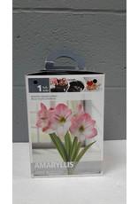 Brampton Amaryllis (Pink) Bulb with Pot